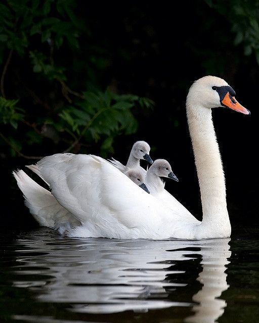 Saw the swans last night. The two babies are nearly as big as the parents. They're doing fine.