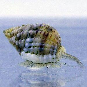 Vente d'invertébrés marins, escargot Nassarius vibex pour nettoyer votre aquarium récifal - Coral Biome