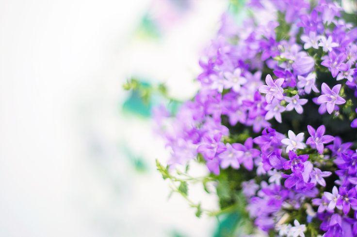 Flores Roxas, Primavera, Verão, Fundo, Pano De Fundo