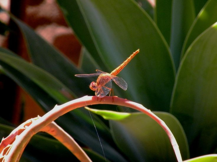 "A dragonfly is an insect belonging to the order Odonata, suborder Anisoptera (from Greek ἄνισος anisos ""uneven"" and πτερόν pteron, ""wing"", because the hindwing is broader th…"