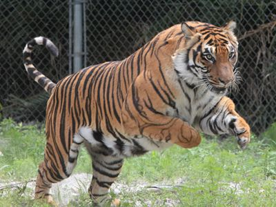 See and learn about exotic and endangered Siberian Tigers, African Lions, and rare White Tigers at Sarasota's Big Cat Habitat and Gulf Coast Sanctuary.