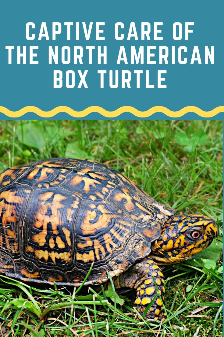 Box turtles if cared for properly are excellent and long