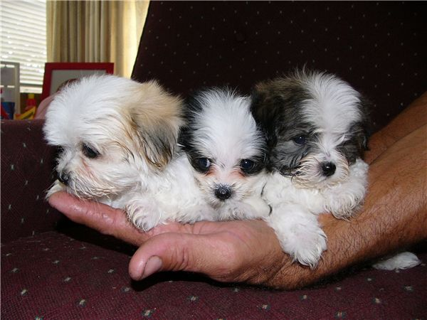 maltese shih tzu puppies for sale | Zoe Fans Blog