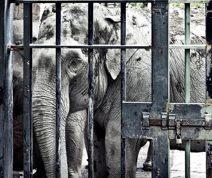 Parmaklıklar ardında özgürlük hayalleri: Hayvanat Bahçeleri   Gaia Dergi