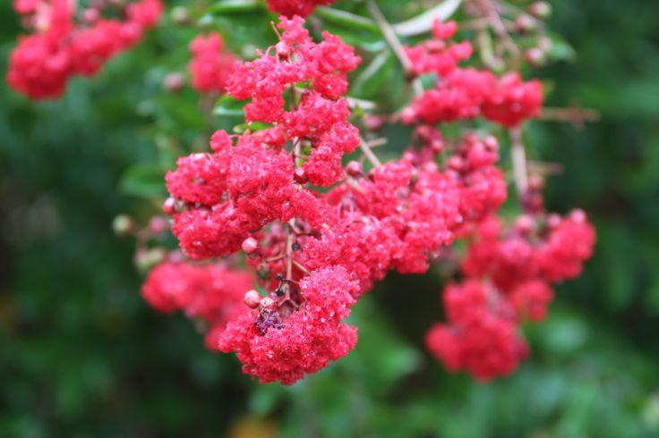 Crape Myrtle Bloom