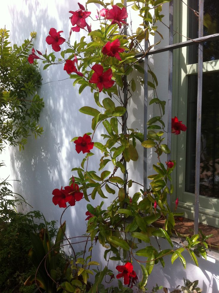 This Red Mandevilla Is A Wonderful Climbing Plant Which Is