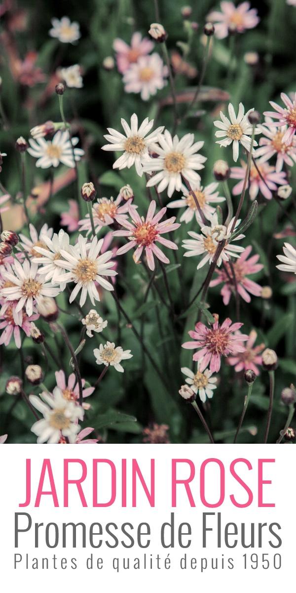 Originaire du Japon, l'Aster rugulosus Asrugo est une merveille de fleurettes rose acidulé, à tester de toute urgence:  http://www.promessedefleurs.com/vivaces/vivaces-par-variete/asters/aster-rugulosus-asrugo-p-5207.html    Un peu dans le même esprit que l'Erigeron karvinskianus, dont il est cousin, l'Aster rugulosus 'Asrugo' est constellé d'une myriade de petites pâquerettes dans des teintes de rose et de blanc, d'aout à octobre.