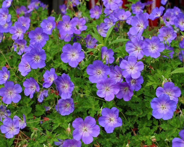 Geranium 'Rozanne'. Bildar en medelstor hög av djupt skurna gröna blad, med lösa kluster av ljusa violett-lila skålformade blommor från början av sommaren. Blomningen kan pågå i veckor eller månader, särskilt i områden med svala somrar. Fungerar bra mot avgränsningar, även utmärkt i massplantering eller blandade rabatter.