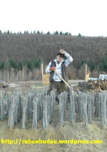Pastrarea  provizorie la sant a plantelor de catina - este valabila si la ceilalti arbusti fructiferi