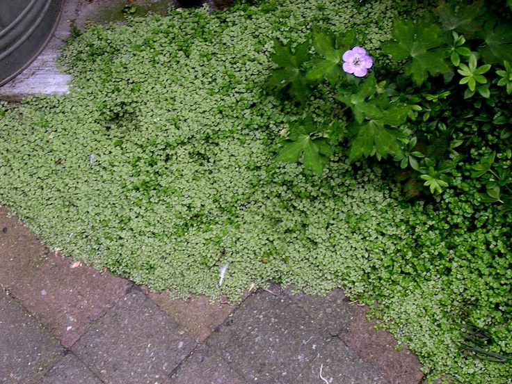 groenblijvende bodembedekkers - slaapkamergeluk