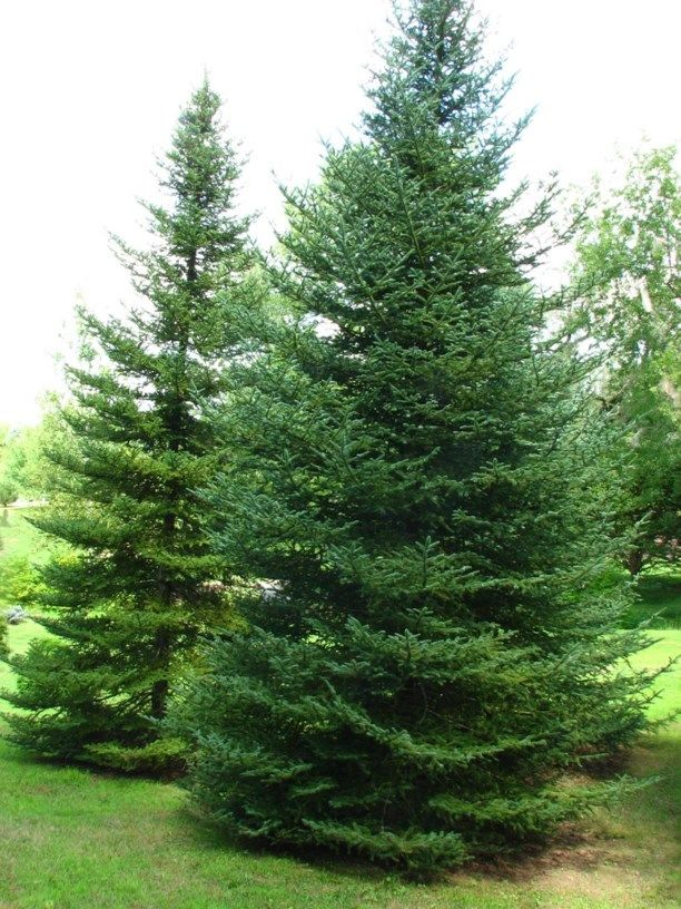 Abies balsamea var. phanerolepis - bracted balsam fir, Canaan fir