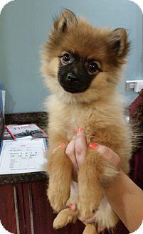 Pomeranian Mix Puppy for adoption in Torrington, Connecticut - Greta