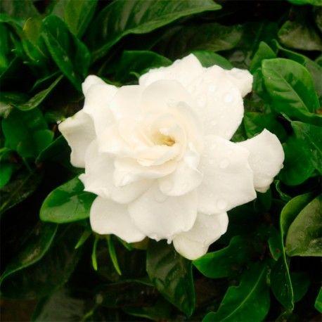 La azalea japonica es un arbusto o pequeño árbol de hoja caduca o perenne según especie o variedad. Muy apreciado por su floración.