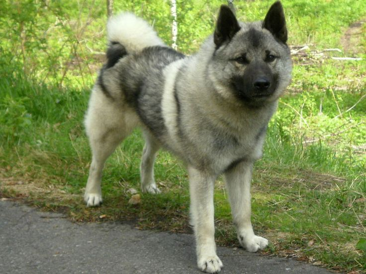#vetsSheppey The Norwegian Elkhound has a mind of its own and is fairly independent, however it is affectionate with its family. They have an outstanding character, and are relatively clean compared to some other breeds.