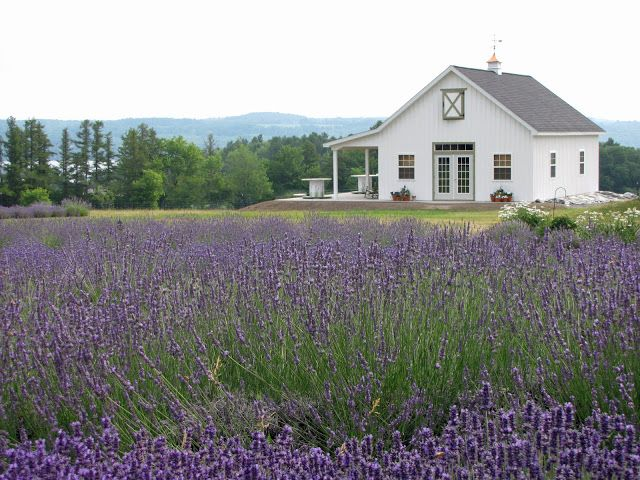 Lockwood Lavender Farm: Our love of Lavender