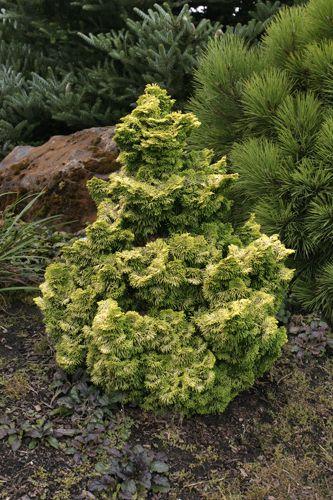 GOLDEN DWARF HINOKI CYPRESS  Chamaecyparis obtusa 'Nana Lutea'  evergreen  3x3 ft. (at 10 yrs)  light to open shade  drought tolerant when established