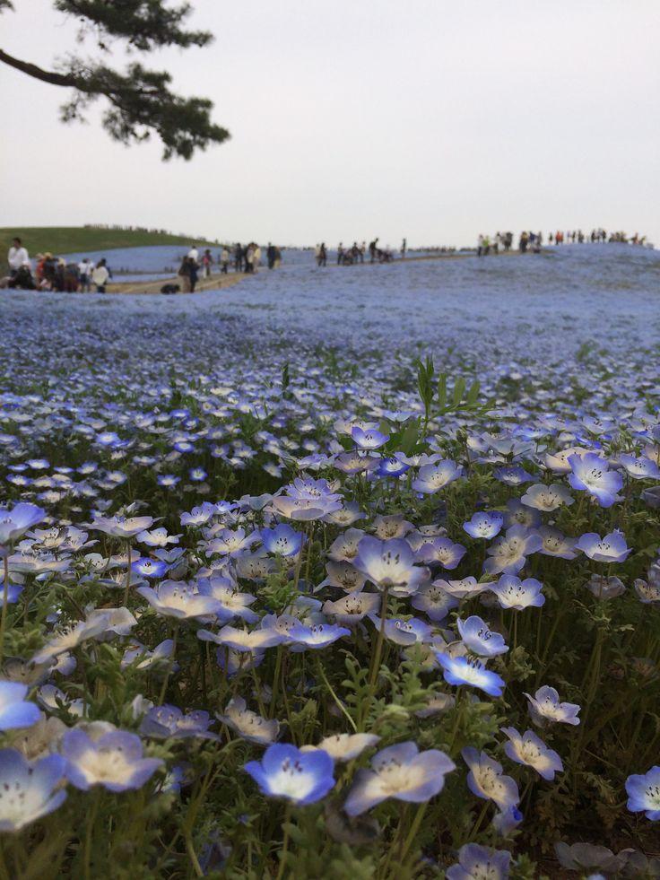 死ぬまでに見たい絶景,ネモフィラ,みはらしの丘,茨城県