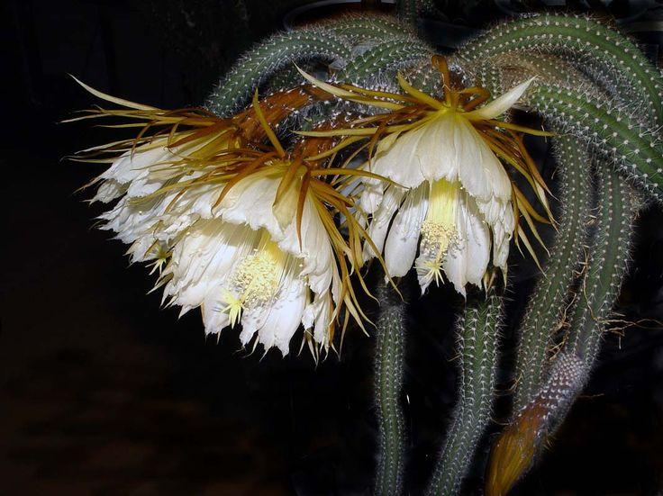 Selenicereus validus