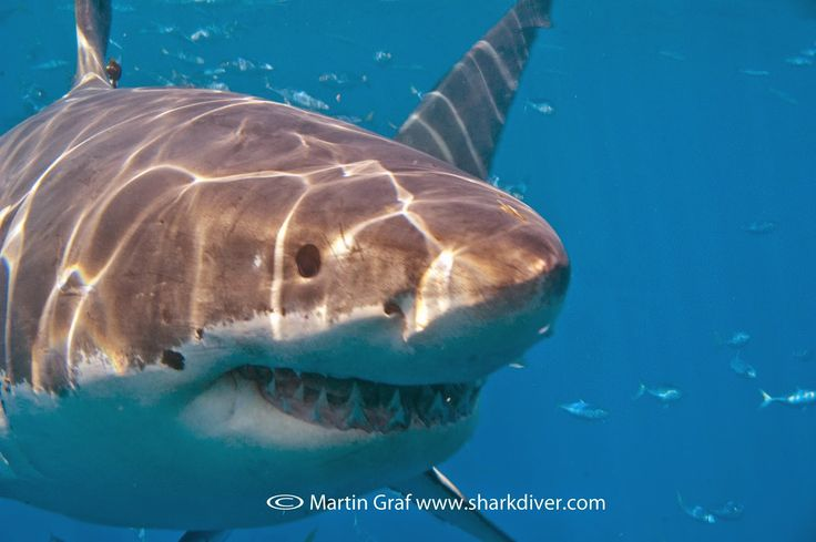 Shark Diver : Shark Diving : Swimming With Sharks: Scientific study on the effects of shark diving?