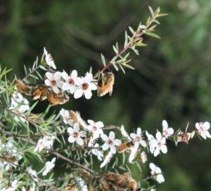 albine in flori de manuka