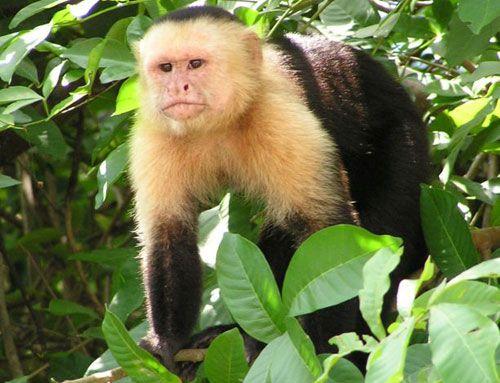 capuchin monkey - Google Search