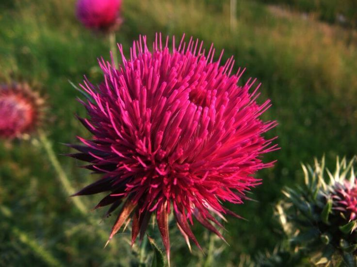 Milk Thistle Detox for Heavy Metals, Chemotherapy, and Radiation
