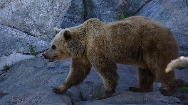 Kontio eli karhu.