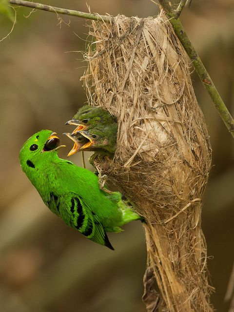 Ninho...  Green Broadbill. Photo by Michael Gillam