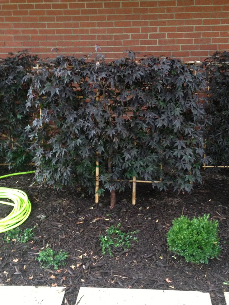 Trellised Japanese Maple From Bountiful Gardens Or