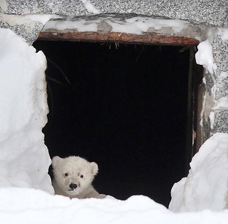 Ranuan jääkarhun pennun ensimmäiset katseet ulkomaailmaan <3