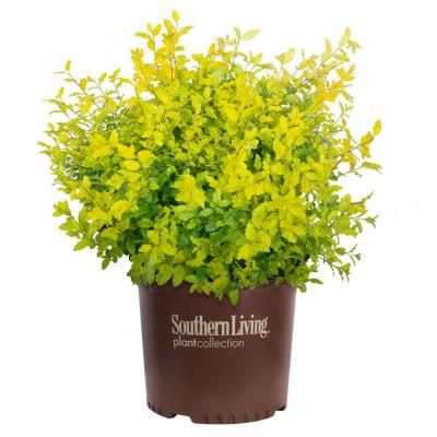 Southern Living Plant Collection 1 Gal. Sunshine Ligustrum-3953Q - The Home Depot