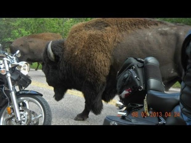 5 times tourists had close encounters with #buffalo #SouthDakota Check out these videos!
