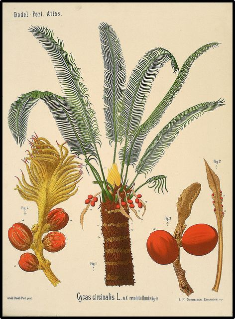 217 best flora images on Pinterest | Botanical illustration ...