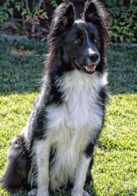 Scout the Border Collie.