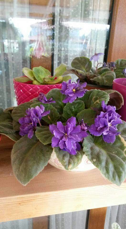 african violets outdoor plantsafrican violetpurple flowershouse
