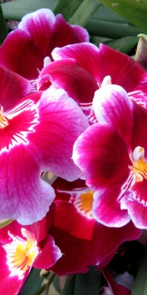Radiant pink orchids