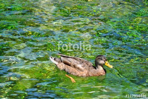 Femmina di Germano Reale sul lago di Posta Fibreno - Frosinone - Lazio -Italia