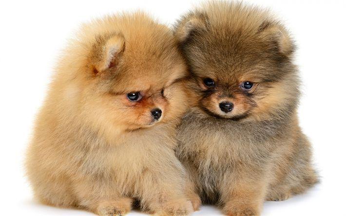 Hämta bilder Pommerska, valpar, små söta hundar, husdjur, fluffiga hundar