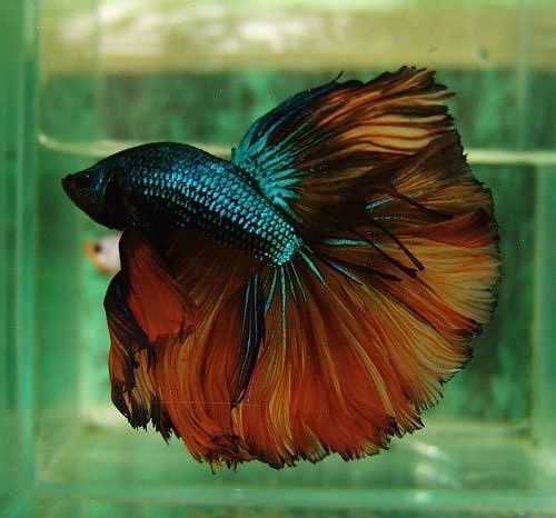 234 best fish images on pinterest fish tanks fish for Betta fish bowl