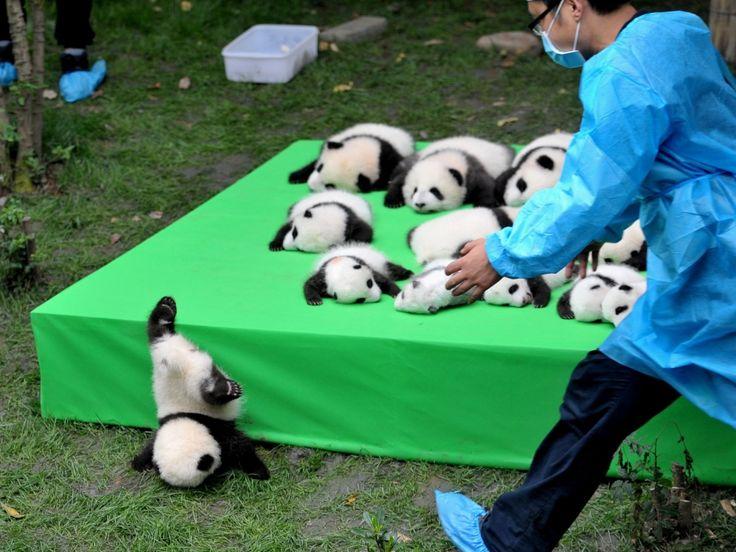 Um grupo de 23 filhotes de panda nascido em 2016 foi colocado em um palco para ser apresentado ao público em Chengu, na China. Um deles escorregou do palanque e acabou caindo de cabeça no chão. Os animais nasceram na Base de Pesquisa de Reprodução de Pandas Gigantes de Chengdu, na provícia de Sichuan