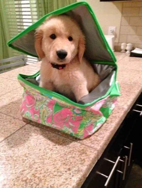 Let me come to school with you! | 60 Times Golden Retrievers Were So Adorable You Wanted To Cry