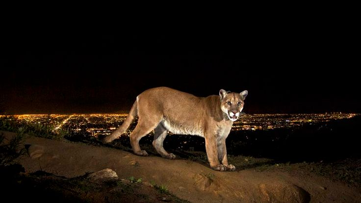 Mountain lion over Griffith Park.