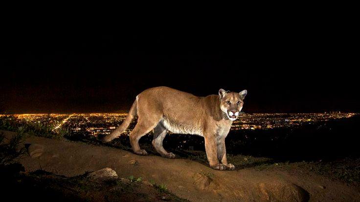 Mountain lion over Griffith Park.