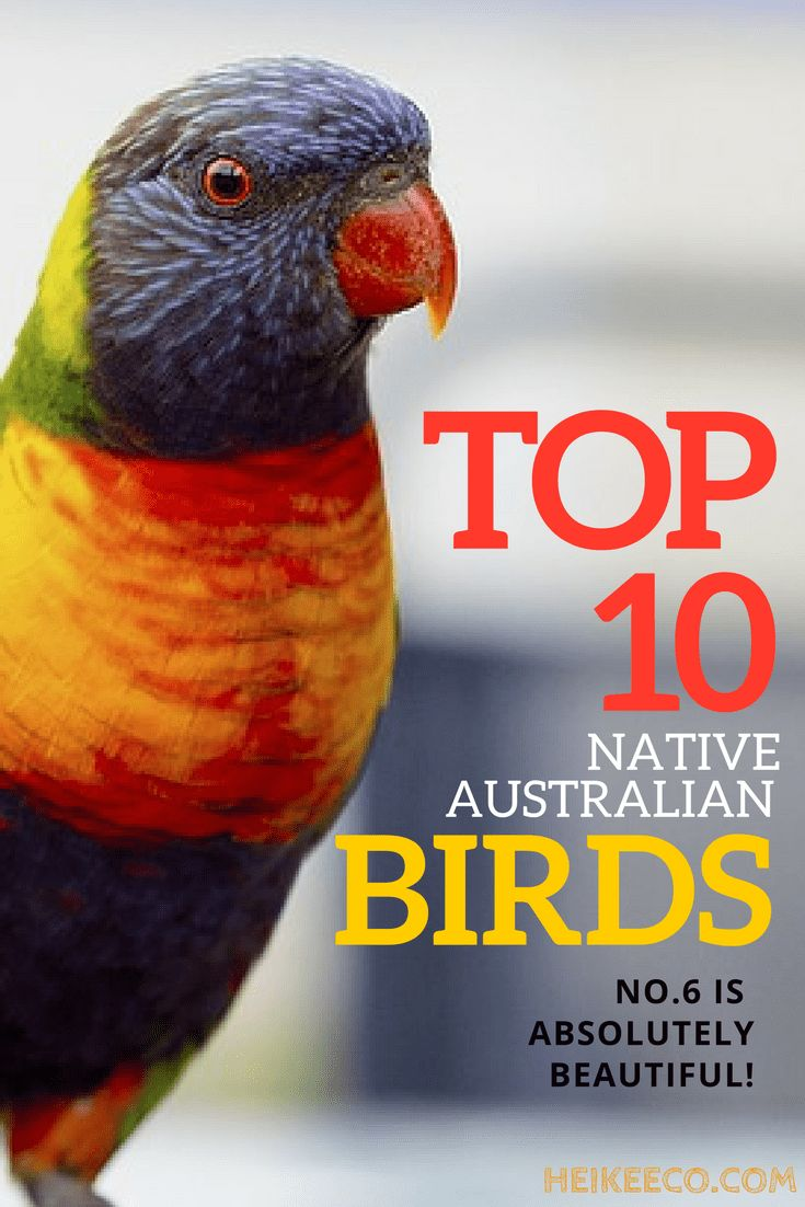 I love birds! But did you know that there are almost 10,000 different species estimated to exist on our planet? Out of all these species, I've put together a list of my top 10 native Australian birds.I think no 6 is THE MOST BEAUTIFUL!  #bird, #birds, #Australian, #native, #top, #nature, #sustainability, #living, #ecoliving, #eco, #sustainableliving, #beautiful, #photography, #small, #parrots, #australia, #watching, #swan, #magpie, #wren, #finch, #kookaburra, #Cockatoo, #lorikeet…