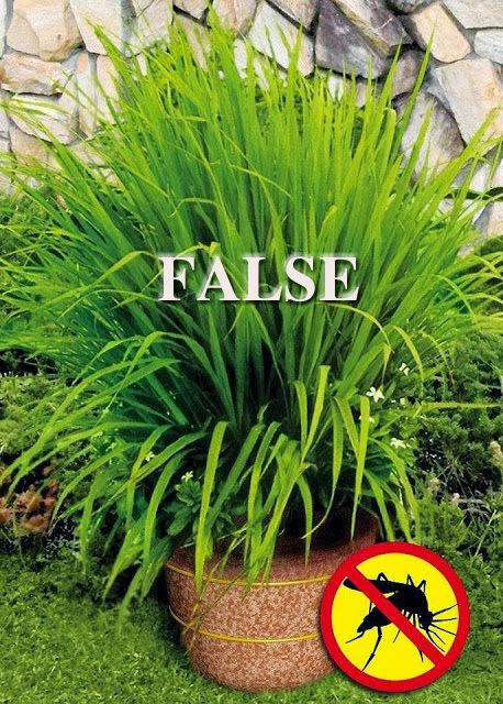 Lemon Grass Plants Amp Mosquitoes There Is No Evidence That