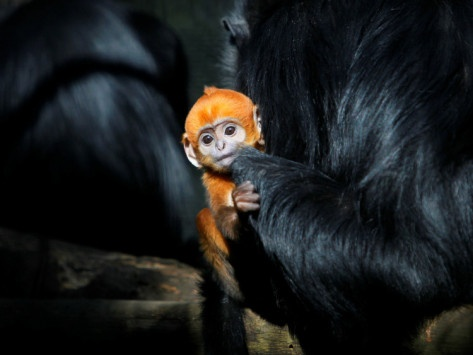 Male Francois' Leaf Monkey Relaxes with His Parents at the Zoological Gardens Zoorasia in Yokohama Photographic Print