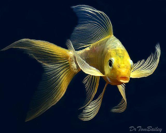 Colors of Butterfly Koi Fish | Butterfly Koi at AquariumFish.net