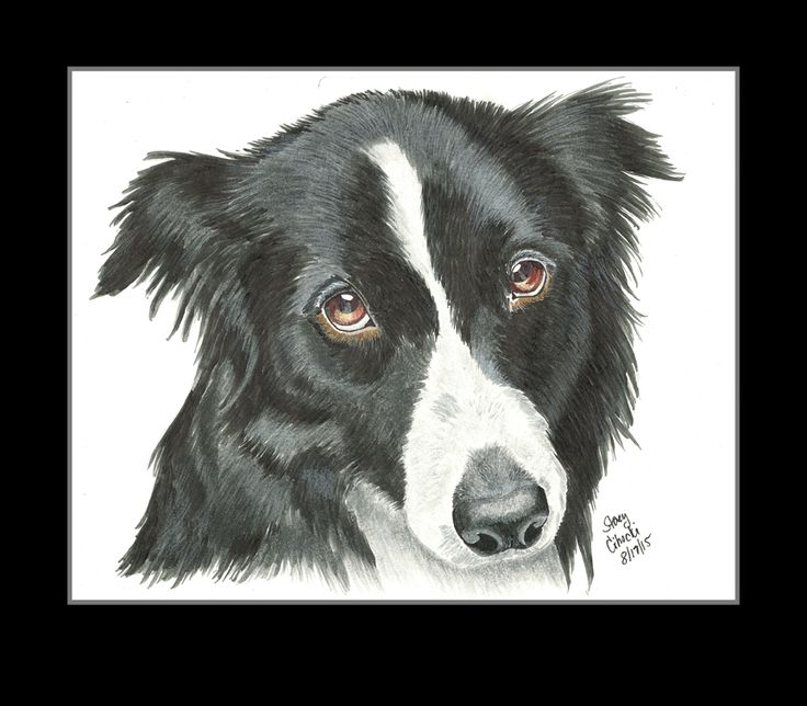 Prismacolor marker drawing of a border collie by Stacy Cihocki. To order your own custom pet portrait drawing, please visit http://www.pastelpaws.com