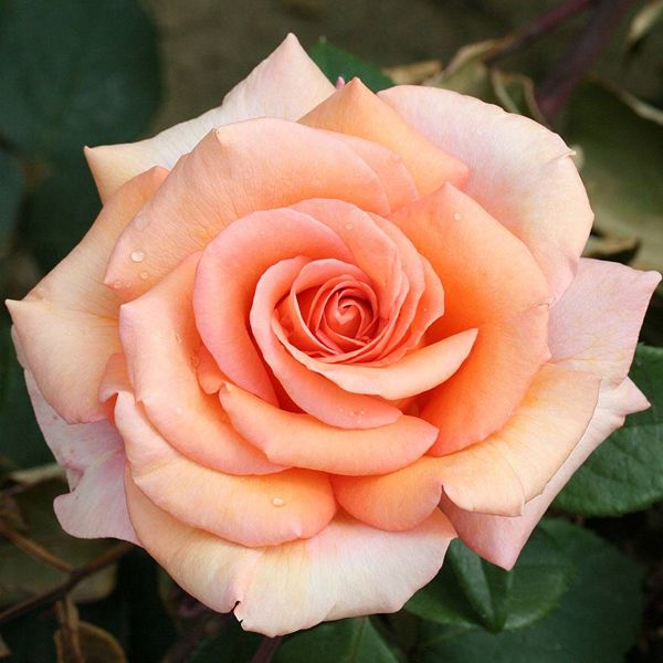 Buy English Rose Any Color Plant Online At Nurserylive Best Plants At Lowest Price Hybrid Tea Roses Planting Roses Plants Online