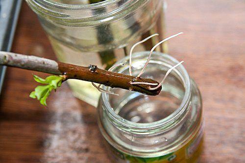 """Le bouturage consiste à donner naissance à une nouvelle plante à partir d'un morceau de rameau par exemple, qui va développer des racines. Pour augmenter les chances de réussite d'une bouture, on peut utiliser de """"l'eau de saule"""", qui contient une hormone de croissance naturelle. Feuilles de saule Comment fabriquer de """"l'eau de saule"""" ? On récolte des rameaux de n'importe quelle variété de saule, on les écrase avec un marteau et on les laisse tremper dans l'eau 24h. On récupère """"l'eau de…"""